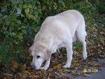 Noémie (Type Labrador sable) 31597527_p