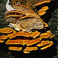 Antrodiella zonata - Coriolus <b>brevis</b> (ニクウスバタケ)