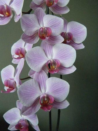 orchidée - 14 juin 2013(3)
