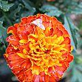 Fleur orange 1