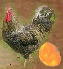 et la poule pondit l oeuf......