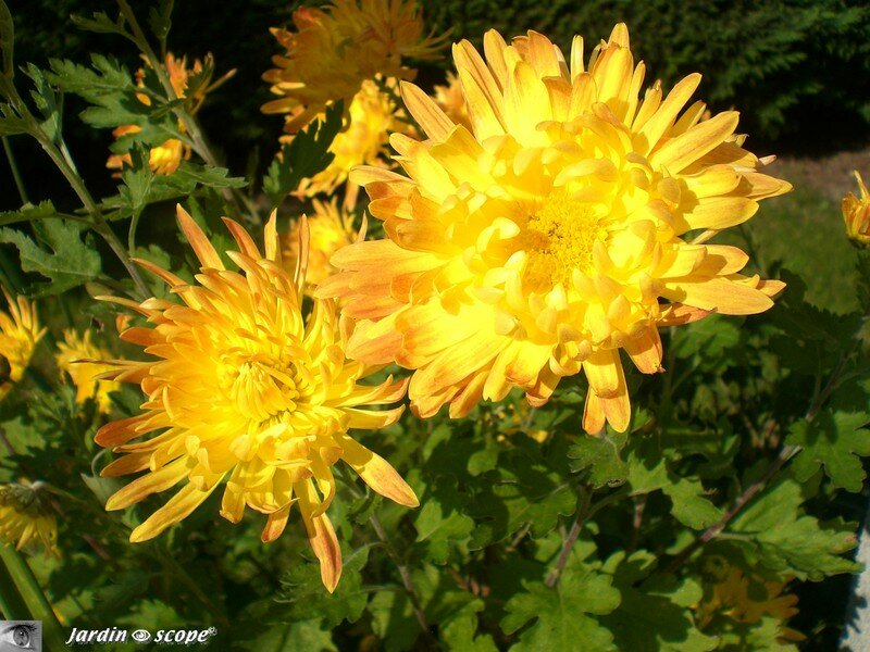 The chrysanthemums essay