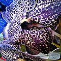 Orchidées tout en <b>bleu</b>