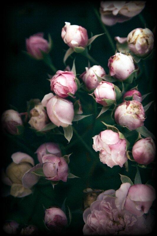 rose-