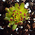 <b>Sempervivum</b> 'Goldsternchen'
