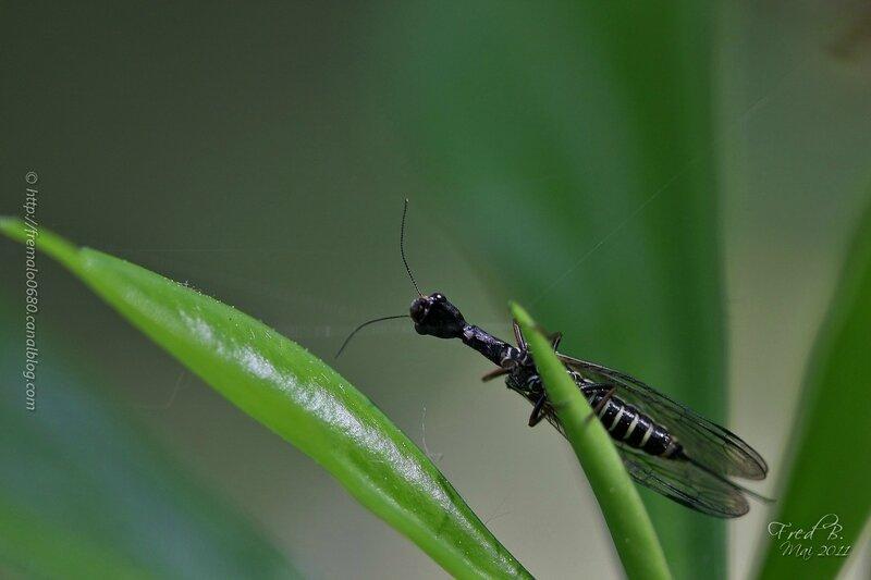 Raphidia sp ♀