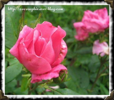 rosesarsac15