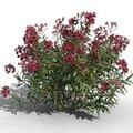 3D Oleander on sell (laurier rose 3D en vente)