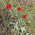 <b>Tulipe</b> précoce