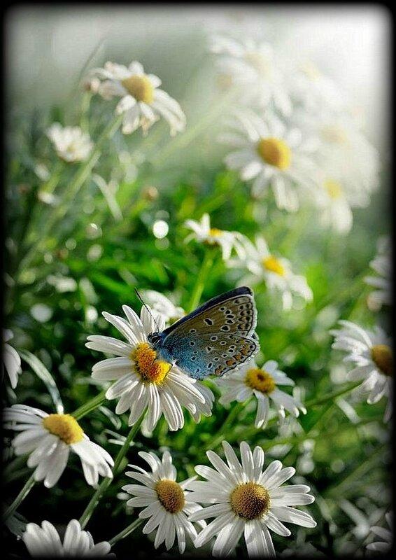 camomille,-papillon,
