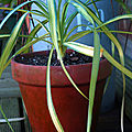Yucca recurvifolia 'Banana <b>Split</b>'