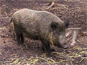 16_boar