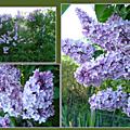 La superbe floraison du lilas