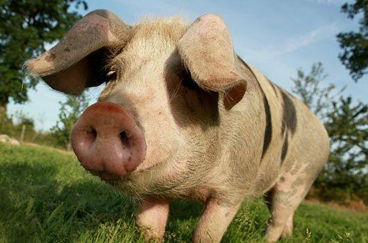 cochon-bayeux-530