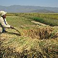 More <b>Rice</b> Farms For Upper Nun Valley Development Authority