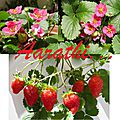Toscana <b>Strawberry</b> with Gorgeous Pink Flowers