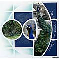 Pairi Daiza 2012 - Fier comme un paon
