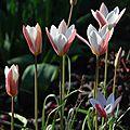 <b>Tulipa</b> 'Lady Jane'