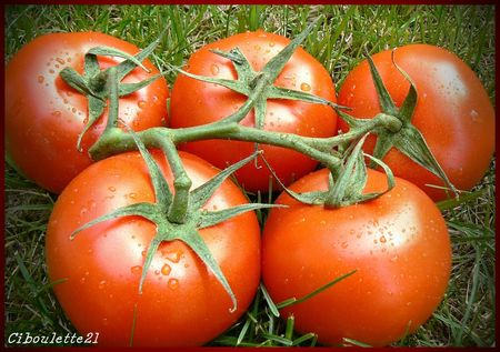 tomates_grappe