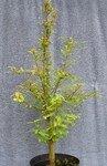 metasequoia2004_bonzai