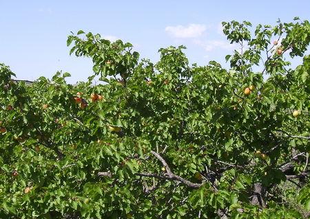 abricots_02