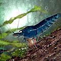 Aquafarm paradise : grossiste en poissons et crevettes d'ornement.