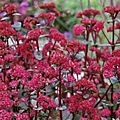 Sedum 'Red Cauli' maintenant Hylotelephium 'Red Cauli'