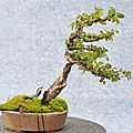 Orme de <b>Chine</b> avec shari - <b>China</b> elm with shari - battu par les vents / fukinagashi