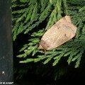 Un papillon de nuit surpris sur la haie de thuyas