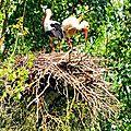En Lorraine :-) Cigogne blanche, White Stork, Weiss Storch, Cicogna <b>bianca</b>