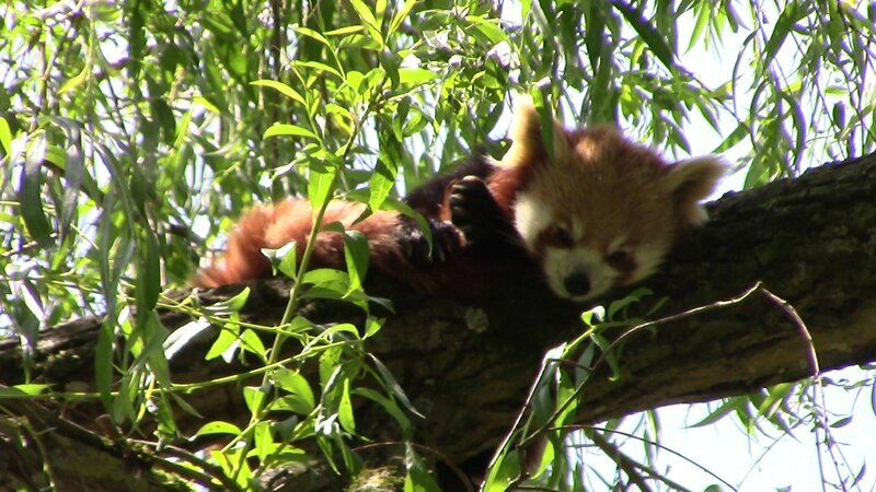 Panda roux siestant