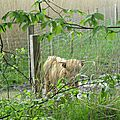 LIESSIES - Des bisons au Parc de l'<b>Abbaye</b> !