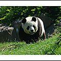 Le Panda .