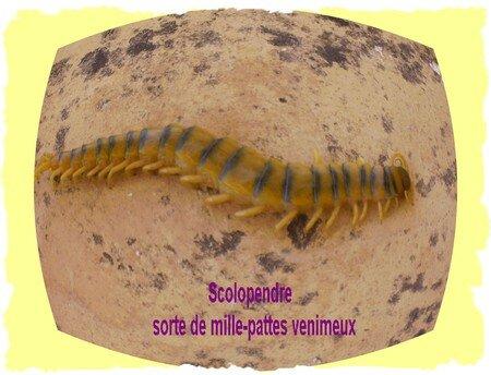 scolopendre03
