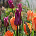 Tulipa 'Purple Dream' et Tulipa 'Orange Emperor'