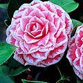 Le camellia japonica: une longue <b>floraison</b> hivernale qui se poursuit jusqu'au printemps...le feuillage persistant en plus.