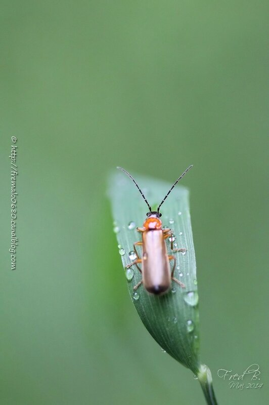 Cantharis sp