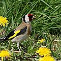  <b>AVES</b> - CHARDONNERET Elegant - Carduelis Carduelis 