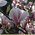 Magnolia , <b>Camélia</b> , photos avril