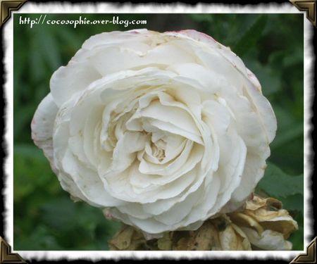 rosesarsac18