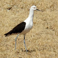 Avocette des <b>Andes</b> (Recurvirostra andina)