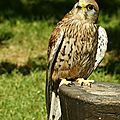<b>AVES</b> - FAUCON Crecerelle - Falco Tinnunculus