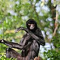 Singe <b>araignée</b> * Red-faced spider monkey