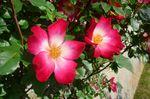 med_beau_rosier_genre_canina_visoflora_14675