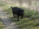 Chanel (Labrador noir) 52145712_p