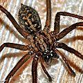 C'est la grosse <b>araignée</b> noire qui fait crier madame !