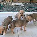 4 chiots jetés par la portière d'une voiture ... plage du Moule ... Madison, Meryl, Lea et Lilou