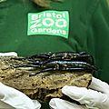 Zoo de Bristol : les phasmes de l'île <b>Lord</b> Howe se sont reproduits !