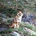 Le loup de Montesole est en fait un chacal <b>doré</b>