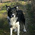 Voltaire - <b>Border</b> <b>Collie</b> à adopter (34)
